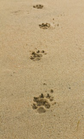 paw prints in the sand
